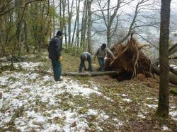 Un arbre déraciné par la neige